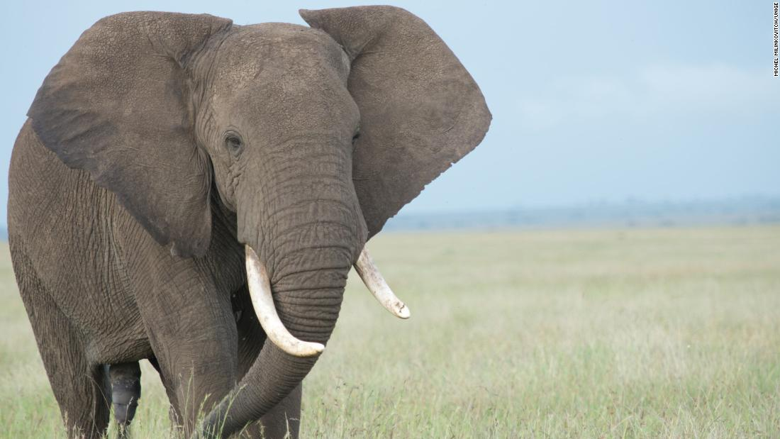 Understanding elephant trunks could be a breakthrough for robotics